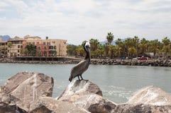 布朗鹈鹕坐岩石 洛雷托省,墨西哥 免版税图库摄影