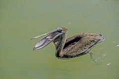 布朗鹈鹕抓与他的额嘴的鱼 免版税库存照片