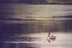 布朗鹈鹕游泳 图库摄影
