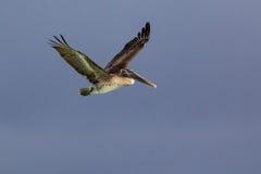 布朗鹈鹕飞行 免版税库存照片