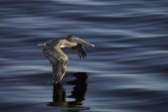 布朗鹈鹕飞行 免版税图库摄影