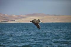 布朗鹈鹕, Pelecanus occidentalis, Paracas -秘鲁 免版税库存图片