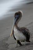 布朗鹈鹕(pelecanus occidentalis) 免版税库存照片