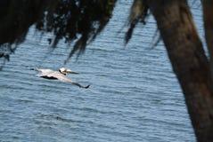 布朗鹈鹕Pelecanus飞行在坦帕湾的Occidentalis在菲利普公园在安全港口,佛罗里达 免版税图库摄影