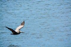 布朗鹈鹕Pelecanus飞行在坦帕湾的Occidentalis在菲利普公园在安全港口,佛罗里达 库存照片