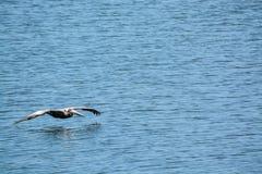 布朗鹈鹕Pelecanus飞行在坦帕湾的Occidentalis在菲利普公园在安全港口,佛罗里达 免版税库存图片
