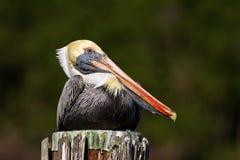 布朗鹈鹕Pelecanus occidentalis佛罗里达,美国 免版税库存照片
