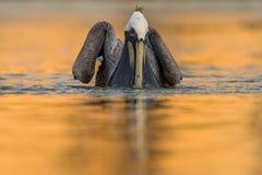 布朗鹈鹕Pelecanus Occidentalis 免版税库存图片