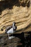 布朗鹈鹕Pelecanus occidentalis urinator,加拉帕戈斯亚种,在北部伊莎贝拉岛海岛的一个岩石 免版税库存照片