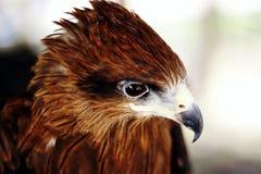 布朗鹰掠食性动物 图库摄影