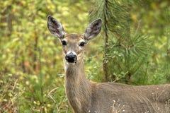 布朗鹿在森林里 免版税库存图片