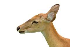 布朗鹿角的鹿 免版税库存照片