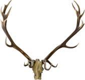 布朗鹿鹿角例证 库存照片