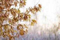 布朗,干燥橡木在树留给垂悬发光通过背景分支分支的苍白阳光;冬天场面 库存照片