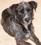 布朗,灰色和白色硬毛的狗面孔 库存照片