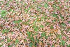 布朗,黄色和红色秋天上色了橡树在草草坪的叶子背景 库存图片