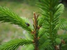 布朗绿化在绿色云杉的树的甲虫 库存图片