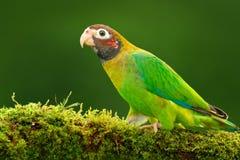 布朗戴头巾鹦鹉, Pionopsitta haematotis,与棕色头的画象浅绿色的鹦鹉 细节特写镜头画象鸟 鸟为 免版税库存图片