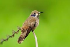 布朗紫罗兰色耳朵, Colibri delphinae,蜂鸟在美丽的桃红色花,好的开花的橙色绿色背景旁边的鸟飞行, 库存照片