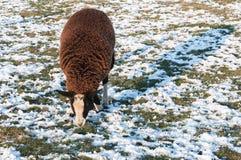 布朗绵羊在一个多雪的草甸 免版税库存图片