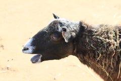 布朗绵羊 库存照片