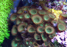 布朗/绿色Zooanthid珊瑚 免版税库存图片