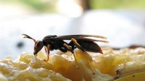 布朗黄蜂 库存图片