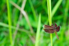 布朗蜻蜓特写镜头在草的 库存图片