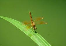 布朗蜻蜓 免版税库存图片