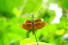 布朗蜻蜓 图库摄影