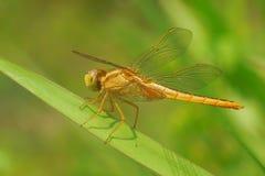 布朗蜻蜓 库存图片