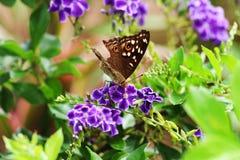 布朗蝴蝶和紫色花在庭院里 库存照片