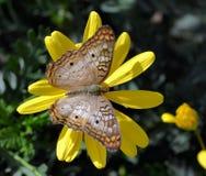 布朗蝴蝶树荫  库存照片