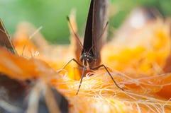 布朗蝴蝶从扇叶树头榈吮花蜜 免版税库存图片