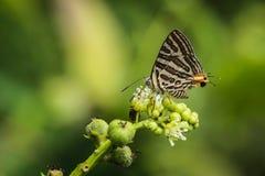 布朗蝴蝶 库存照片