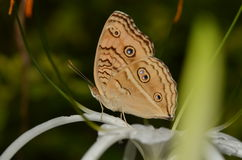 布朗蝴蝶 免版税库存图片