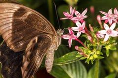 布朗蝴蝶 免版税库存照片