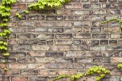 布朗/金子风化了砖纹理或都市墙壁背景与常春藤框架 免版税库存照片