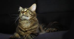 布朗Blotched平纹缅因浣熊家猫,男性放置反对黑背景,诺曼底在法国,慢动作 影视素材
