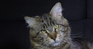 布朗Blotched平纹缅因浣熊家猫,男性画象反对黑背景,诺曼底的在法国,慢动作 影视素材