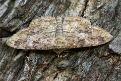 布朗butterflyMoth的图象在树的 昆虫 免版税库存图片