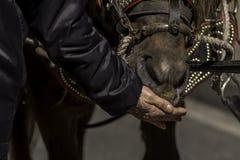 布朗horseÂ的吃 免版税图库摄影