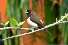 布朗munia鸟 免版税库存照片