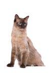 布朗Ragdoll猫 免版税库存图片