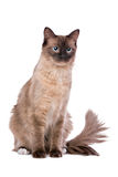 布朗Ragdoll猫 免版税图库摄影