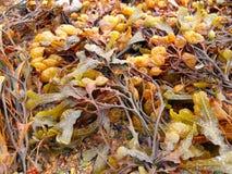 布朗seeweed海藻 库存照片