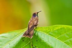 布朗Violetear蜂鸟(Colibri delphinae) 图库摄影