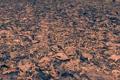 布泰亚monosperma的下落的瓣和烘干在地面上的叶子 乌贼属口气 库存图片