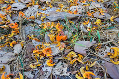 布泰亚monosperma的下落的瓣和烘干在地面上的叶子 免版税库存照片