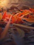 布泰亚monosperma的下落的瓣和烘干在地面上的叶子 Selectve重点 库存照片